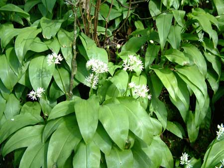 Ramsons, also known as wild garlic