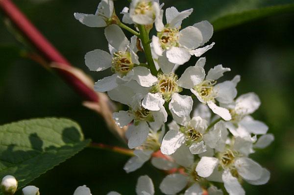 Hackfall Blackthorn Blossom