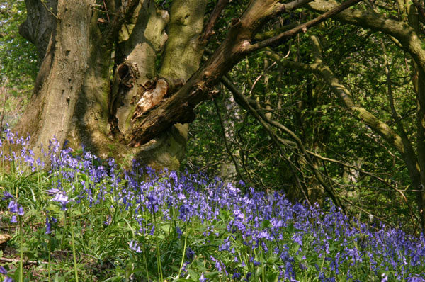 Bluebell wood Hackfall