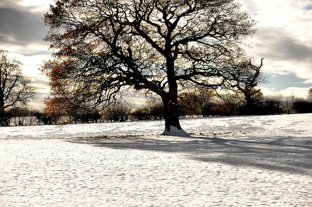 Oak in snow and sun